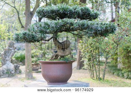 Bonsai In A Chengdu Park
