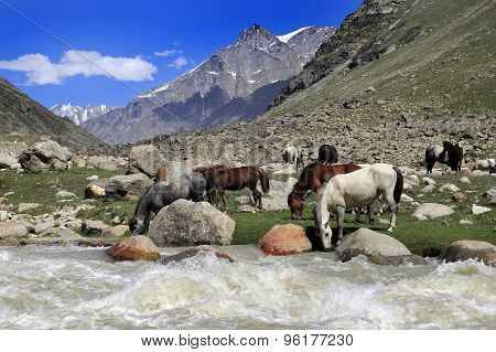 Horses drinking water near river in the field, Northern India