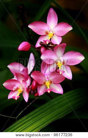 Pink Thai orchid flower