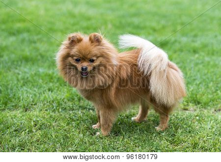 Miniature spitz on the green field.