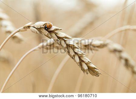 Ladybug sits on wheat.
