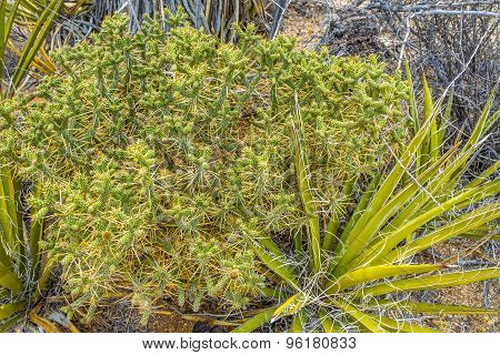 Cactus In Joshua Tree N.p.