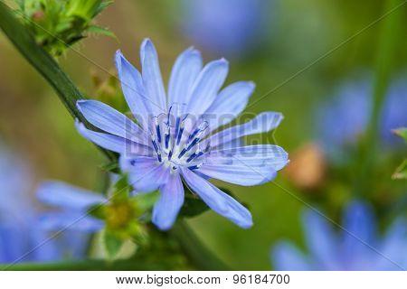 Close up blue chicory flower (cichorium intybus), shallow focus