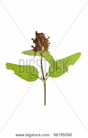 Pressed And Dried Flower On A Stalk Prunella Vulgaris. Isolated On White Background.