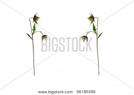 Pressed And Dried Flower On A Stalk Geum Rivale (avens River). Isolated On White Background.