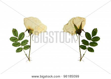 Pressed And Dried Flower On A Stalk Wild Rose. Isolated On White Background.