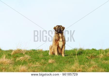 Big Romanian Shepherd Near The Farm