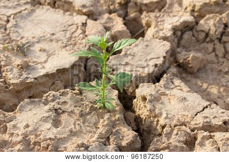 Small Tree In Crack Soil