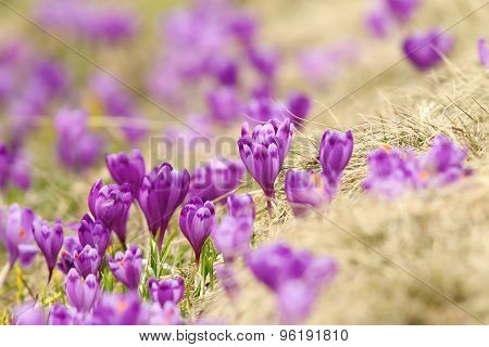 Spring Crocuses On Mountain Meadow