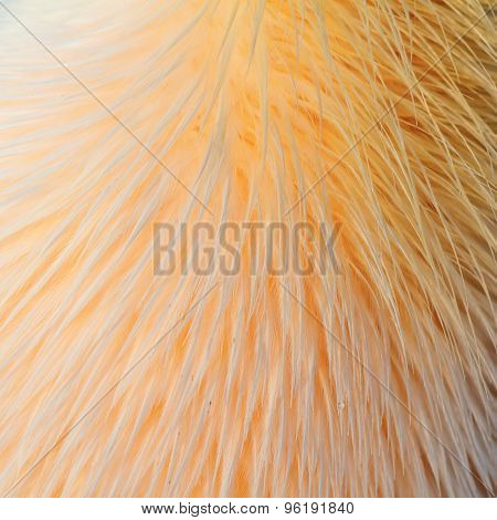 Texture Of Great Pelican Feathers