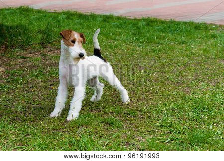 Fox-terrier.