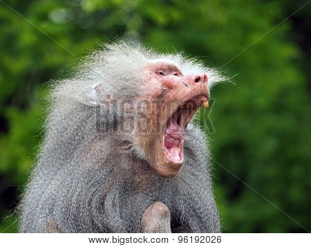 An Ugly Old Baboon