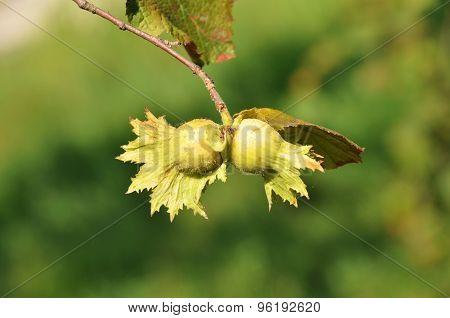 Green hazelnut