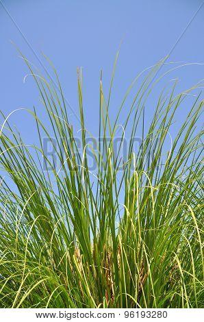 Reeds in summer