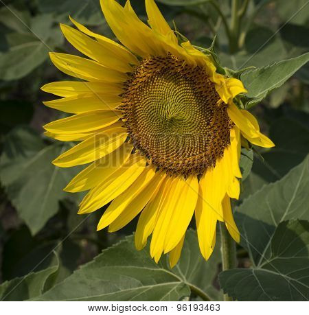 The Beautiful Flower Of Sunflower Looking Aside