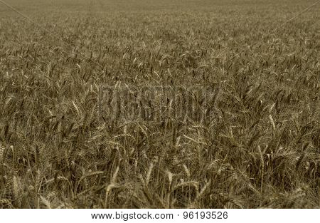 The Ripened Wheat Field Close Up