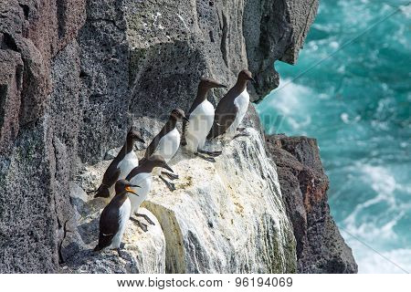 Seabirds on a cliff in Iceland