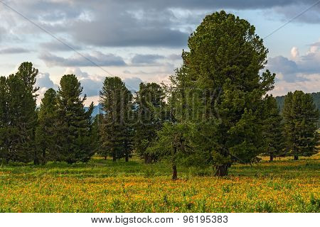Cedars Forest Flowers Meadow