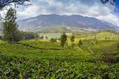 pic of cameron highland  - Tea plantation Cameron highlands in the India - JPG