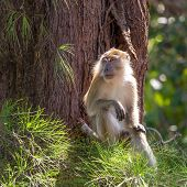 pic of gunung  - Macaque sitting on a tree in Gunung Leuser National Park - JPG