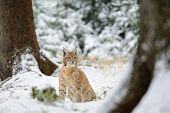 picture of freeze  - Eurasian lynx cub sitting in winter colorful forest with snow - JPG