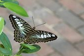 picture of clippers  - Green Clipper Butterfly poised and ready for flight - JPG