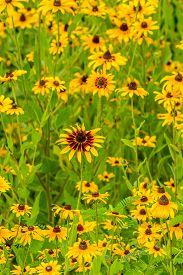 picture of black-eyed susans  - Images taken of an early summer field of the wild Black - JPG