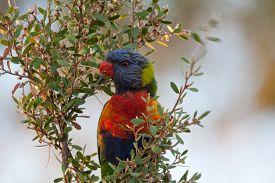 image of lorikeets  - Rainbow lorikeet sitting in the bush and looking around - JPG