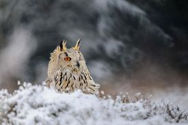 stock photo of snow owl  - Eurasian Eagle Owl sitting on the ground with snow in winter time - JPG
