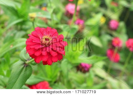 Image of red daisy flower, Summer in Thailand