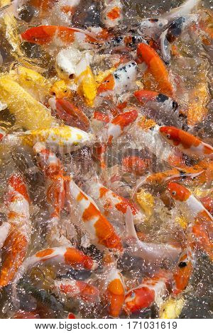 View of Japanese koi fish in Thailand