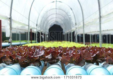 Fresh butter head salad lettuce in Thailand