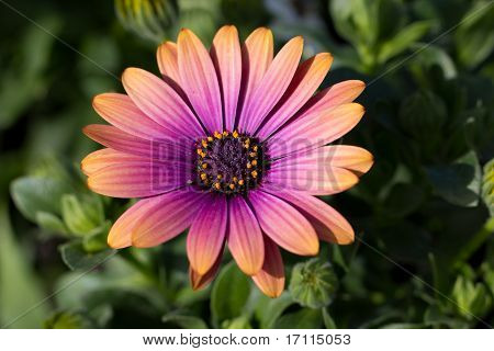 Beautiful Marguerite