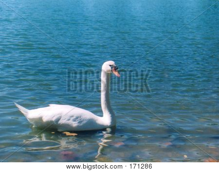 White Swan On Blue Lake