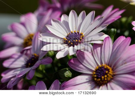 Beautiful white Marguerites