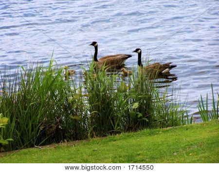 Family Of Geese In Lake