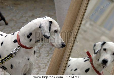 Dalmatian Dog And Mirror