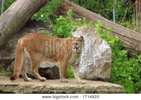 Puma, Cougar.