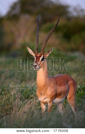 Grant'S Gazelle In Tsavo East National Park Kenya
