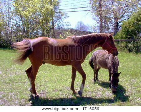 Chestnut Horse and Burro Grazing together