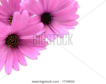 Purple Daisy Flowers Over White
