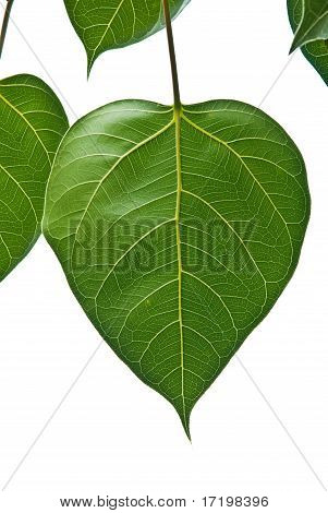 Bodhi Or Peepal Leaf From The Bodhi Tree