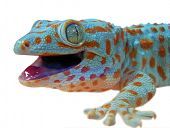 stock photo of gekko  -  Gecko lizard - JPG