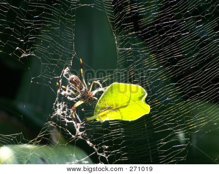 Spider Repairing Web With Leaf 2
