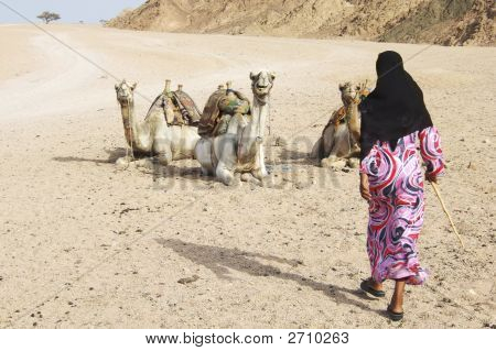 Young Beduin Girl And Her Camels