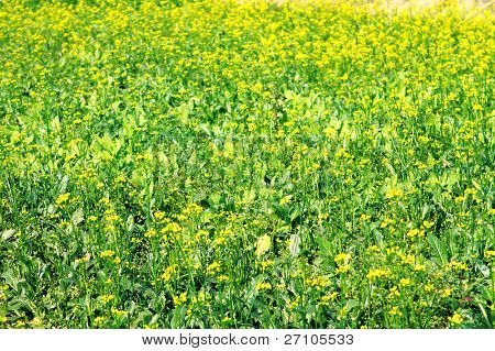 Top view of a blooming rapeseed field at Spring