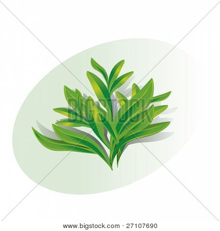 Twig Of Tarragon (Fully Editable Vector Image)