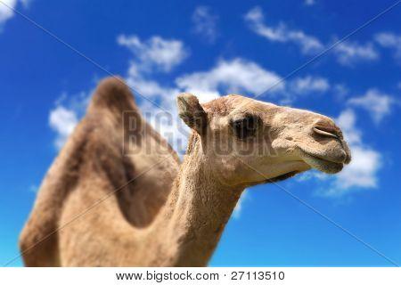 Camel head agaisnt sky background