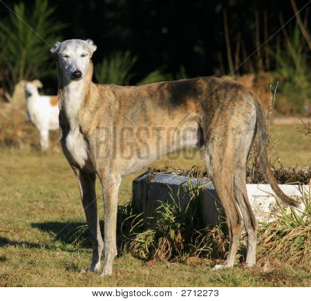 Chico The Greyhound