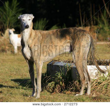 Chico The Greyhound